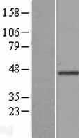 NBL1-08877 - Cyclin E Lysate
