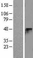 NBL1-08878 - Cyclin E2 Lysate
