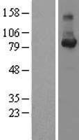 NBL1-08879 - Cyclin F Lysate