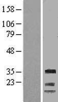 NBL1-08880 - Cyclin G Lysate