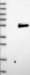 NBP1-87518 - Cyclin G2