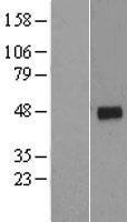 NBL1-08882 - Cyclin G2 Lysate