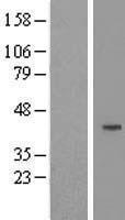 NBL1-08885 - Cyclin J Lysate