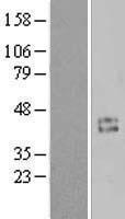 NBL1-08884 - Cyclin Lysate