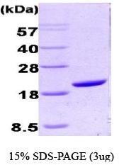 NBC1-18425 - Cyclophilin A