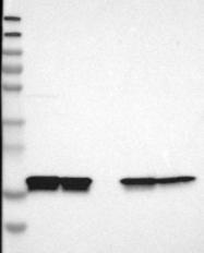 NBP1-85358 - Cyclophilin B