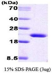 NBC1-18424 - Cyclophilin B