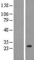 NBL1-14647 - Cyclophilin C Lysate