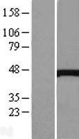 NBL1-09573 - Cystathionase Lysate