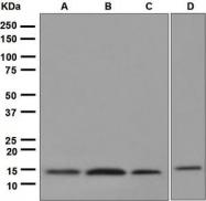 NBP1-95712 - Cystatin-C