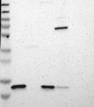 NBP1-87472 - Cystatin-C