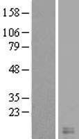 NBL1-09551 - Cystatin-8 Lysate