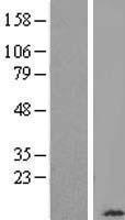 NBL1-09416 - Cytochrome C Oxidase subunit VIb Lysate