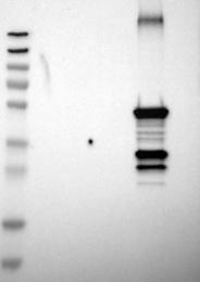 NBP1-88054 - CYP2C8
