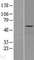 NBL1-09685 - Cytochrome P450 2C8 Lysate