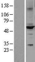 NBL1-09686 - Cytochrome P450 2C9 Lysate