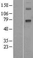 NBL1-09687 - Cytochrome P450 2E1 Lysate