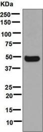 NBP1-95969 - CYP3A4