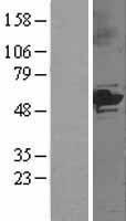 NBL1-09693 - Cytochrome P450 3A5 Lysate