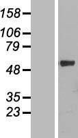 NBL1-09697 - Cytochrome P450 4F11 Lysate