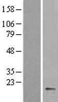 NBL1-09651 - Cytochrome b5 Lysate
