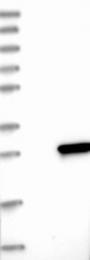 NBP1-89701 - Cytoglobin
