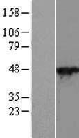 NBL1-14857 - Cytohesin 2 Lysate