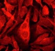 NB100-79961 - Cytohesin 3