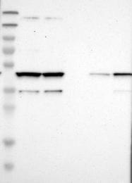NBP1-90097 - Cytohesin 3
