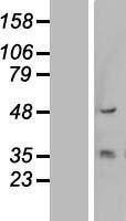 NBL1-12380 - Cytokeratin 13 Lysate
