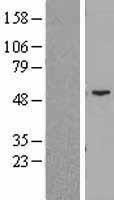 NBL1-12381 - Cytokeratin 14 Lysate