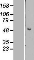 NBL1-12382 - Cytokeratin 15 Lysate