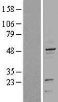 NBL1-12388 - Cytokeratin 20 Lysate