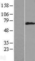 NBL1-12395 - Cytokeratin 6b Lysate