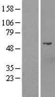 NBL1-09708 - D2HGDH Lysate