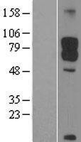 NBL1-09709 - DAB1 Lysate