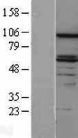 NBL1-09710 - DAB2 Lysate