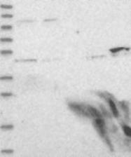 NBP1-84622 - DALRD3