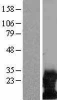 NBL1-17483 - DAP12 Lysate