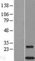 NBL1-17484 - DAP12 Lysate