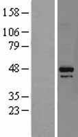 NBL1-09715 - DAP3 / MRPS29 Lysate