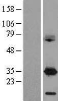 NBL1-09718 - DAPP1 Lysate
