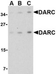NBP1-77278 - CD234 / DARC