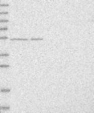 NBP1-85937 - DARS1