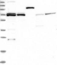 NBP1-83854 - DARS2