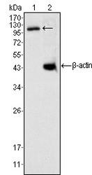 NBP1-47453 - DAXX