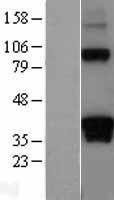 NBL1-09725 - DAZL Lysate