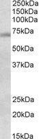 NBP1-78282 - DBF4 / ASK