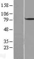 NBL1-09726 - DBF4 Lysate