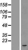 NBL1-09736 - DC2 Lysate